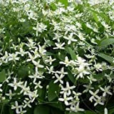 Clematide Little White Charm (Clematis sempreverde) Rampicante Sempreverde Colore del fiore: Bianco Grandezza del fiore: 7,5 cm | Altezza pianta adulta: 2,5-3,5 m Periodo di fioritura: marzo - maggio