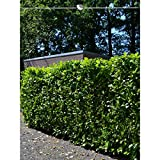 Lorbeer Novita 160-180 cm. Angebot: 5-100 Heckenpflanzen. Kirschlorbeer Prunus laurocerasus Novita; breite, immergrüne Blätter. Blickdichte Lorbeer Hecke als Sichtschutz - der immergrüne Zaun