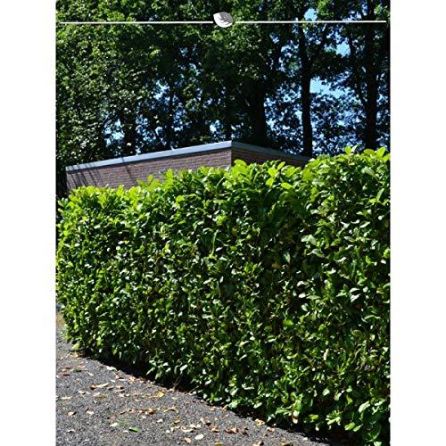 Gardline Lorbeer Novita 160-180 cm. Angebot: 5 Heckenpflanzen. Kirschlorbeer Prunus laurocerasus Novita; breite, immergrüne Blätter. Blickdichte Lorbeer Hecke als Sichtschutz - der immergrüne Zaun