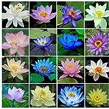 40pcs / set Lotus Flower Semillas de Lotus Planta acuática Hermosa Lotus Water Lily Seed