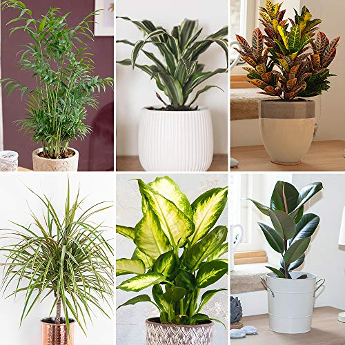 Houseplant Collection x 6 in 12cm Pots, Beautiful Evergreen Indoor Real Plants - Improve Air Quality