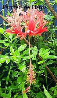 Best japanese hibiscus tree Reviews