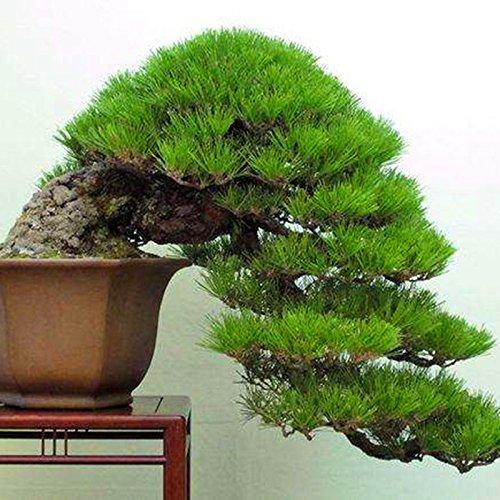20 pcs/sac Graines de pin noir vert graines de bonsaï Pinus thunbergii plantes Parl pour les plantes ligneuses vivaces droites de jardin à domicile 6