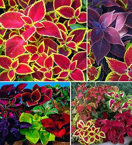 100+ Rare Mixed Coleus Flowers Seeds Rainbow Coleus Wizard Mixed Perennial...