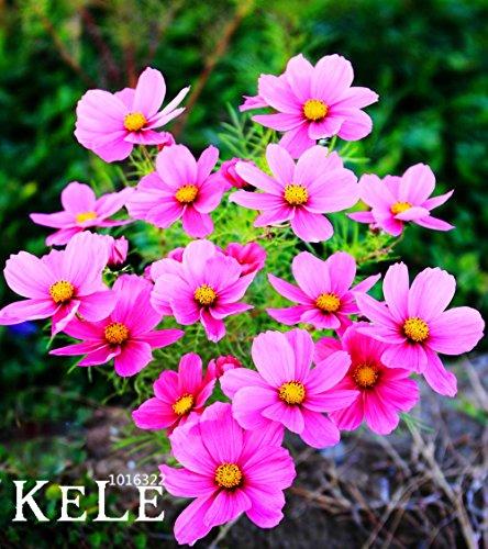 Big Promotion! Magie belles il fleurs, cosmos, 200 graines / Sac graines de fleurs de couleur, convenant pour le pâturage, cour ,, # SZW29G