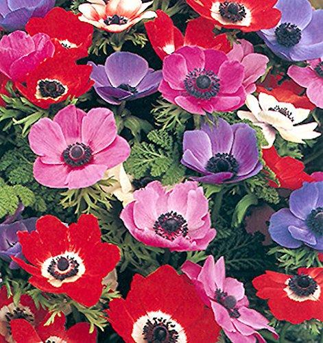 100 Tuberi di Anemone coronaria 'De Caen' a fiore semplice.