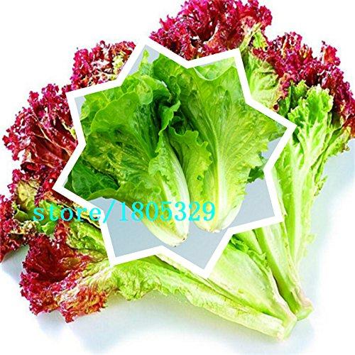 100 italiens Graines de laitue bon goût, facile à cultiver, grand choix de salades, de légumes Accueil bricolage