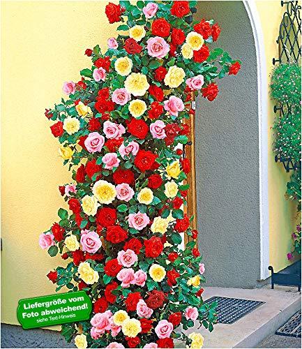 BALDUR Garten Kletterrosen rot, rosa und gelb, 3 Pflanzen, Kletterpflanzen Rose winterhart,