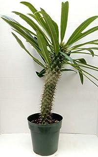 1 Large Madagascar Palm Tree Pachypodium Lamerei, Geayi Live Plant Long Stem Succulent Pot 6 (One Lamerei Plant)