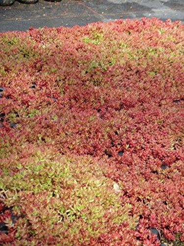 Sedum album Coral Carpet, 6 Pflanzen im 5/6 cm Topf
