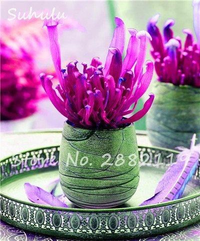 60 Pcs vivaces Nepenthes Seeds Carnivores Venus Fly Trap plus chaud du monde des plantes Graines Bonsai Garden Seed Color Mix Livraison gratuite 13