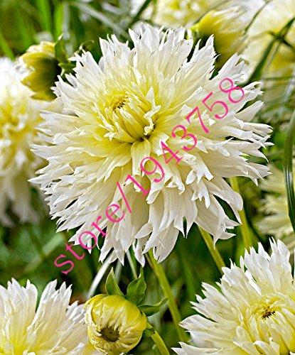 20 pcs vrai dahlia fleur graines de dahlia (pas les bulbes de dahlia), et chanceux symbolise le courage, graines de fleurs bonsaï vivaces jardin à domicile 24
