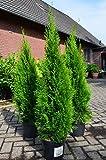 Smaragd Lebensbaum Thuja occidentalis Smaragd 100-125...