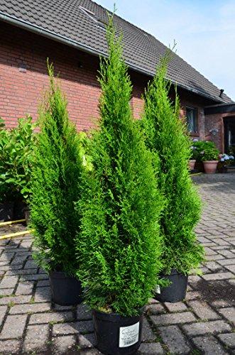 Smaragd Lebensbaum Thuja occidentalis Smaragd 100-125 cm hoch im 5 Liter Pflanzcontainer