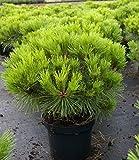 Baumschule Pflanzenvielfalt Pinus nigra Pierrick Bregeon® - Kugelkiefer Pierrick Bregeon® - Kugelföhre -