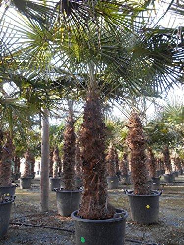 super promo: lot de 2 grands palmiers -18°C : trachycarpus fortunei