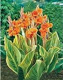 HOO PRODOTTI - semi di fiore di semi in vaso Giglio canna Seeds - Pretoria - Variegato Fogliame - Esotico Blooms Spedizione 10pcs nuovo arrivo!