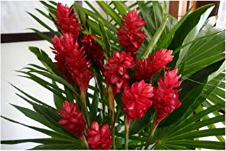 Hawaiian RED (Awapuhi`Ula`Ula) Ginger Plant Root---Comes from a PEST-FREE certified Hawaiian nursery and with the proper U.S. Department of Agriculture stamp