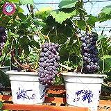 50pcs semillas de uva negro semillas de uva bonsai frutales enanos crecen las uvas árbol fácil semillas de frutas japoneses para plantar jardín de su casa