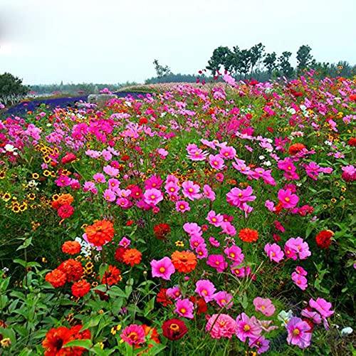 Charm4you Raras Semillas de Hierba,Semilla de combinación de Flores Silvestres Multi-Vieja-Flor Azul 500g,Semillas Ornamentales de Hierba