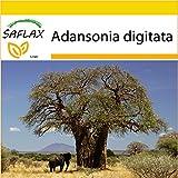 SAFLAX - Set de cultivo - Árbol del pan del mono - 6 semillas - Con...