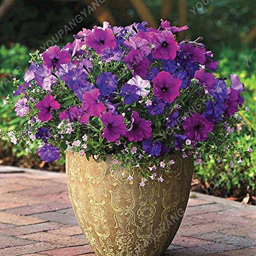 200 pcs/sac Petunia Graines Bonsaï Graines de fleurs Court Taille Jardin Fleurs Graines d'intérieur ou à l'extérieur Livraison gratuite Plante en pot Plum