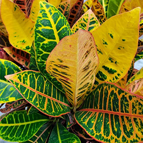 Product Image 5: Croton Petra Plant – Tropical Foliage Plant Live – 3 Gallon Pot – Overall Height 20″ to 24″ – Tropical Plants of Florida (Plant Only)