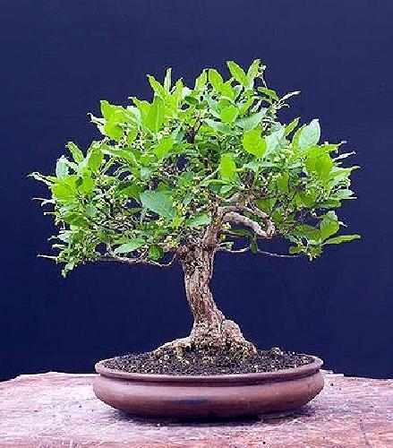 Tropica - Bonsai - Weißer Maulbeerbaum (Morus alba) - 200 Samen
