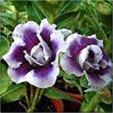 Las semillas de la herencia SwansGreen Raras púrpura desierto blanco de Rose del doble de Adenium, Paquete Profesional, 2 semillas de plantas Bonsai E3547