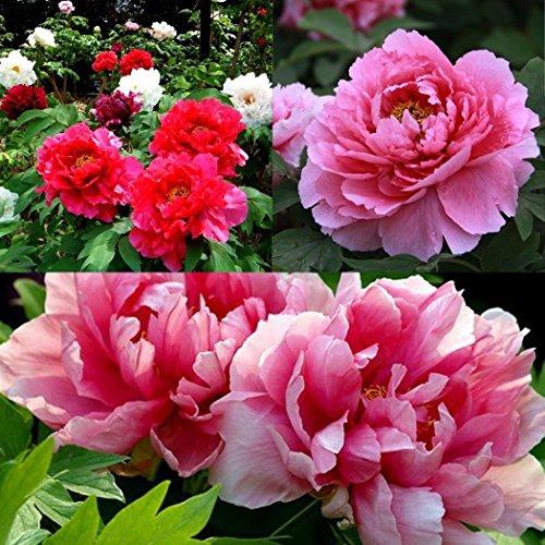 Ncient 8pcs/Sac Graines Semences de Fleur Pivoine, Graine de Fleurs Pivoine Coral Parfumée Seed Bonsaï Plante en Pot Décoration d'Intérieu Jardin