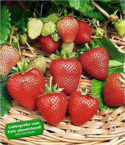 BALDUR-Garten Immertragende Erdbeere Buddy®, 3 Pflanzen Fragaria winterhart