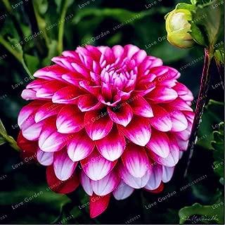Hot Sale 2 Bulb Dahlia Bulbs Beautiful Perennial Dahlia Flower Bulbs Bonsai Plant DIY Home Garden(Not Dahlia Seed)