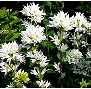 HOT - Dwarf Clustered Bellflower - 2000 Seeds - Campanula glomerata - Perennial Flower