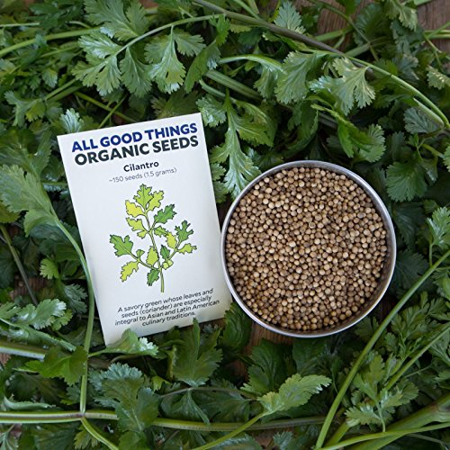 Coriandre/Graines de coriandre (~ 150): certifiés biologiques, semences non OGM Heirloom