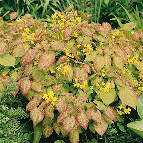 Qulista Samenhaus - Selten Elfenblume gelb Epimedium Bodendecker Wintergrün Blumensamen winterhart mehrjärhig