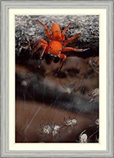 Framed Wall Art Print Subterranean Jumping Spider Hunting Baby Spiders Kenya by Mark Moffett 26.75 x 36.75