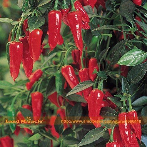 100% réel Super Hot Pepper (Hot Chilli) Graines Bonsai, 20 graines/Pack, les plants de légumes biologiques