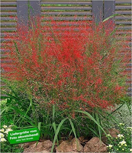 BALDUR Garten Rotes Liebesgras Purpur Liebesgras, 3 Pflanzen Eragrostis spectabilis Garten-Ziergräser winterhart