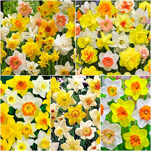 50 x Mixed Large Trumpet Daffodil Bulbs - Spring Flowering Bulbs for Gardens - Large Bulbs 12-14cm Diameter - Narcissi Daffodils & Narcissus - Free P&P
