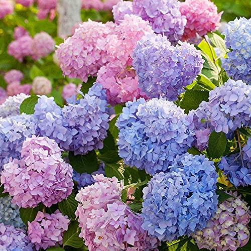 Hortensia, semillas de 100 piezas / bolsa de hortensia suelo neutro fáciles de plantar Crecimiento Rápido atractivos Semillas de flores para Bonsai Balcón Ideal para jardinería regalo al aire libre