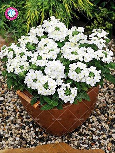 graines 100pcs Verveine seeds.Verbena HORTENSIS, graines de bonsaï rares fleurs Hanging plantes balcon intérieur fleurs pour le jardin de la maison 10
