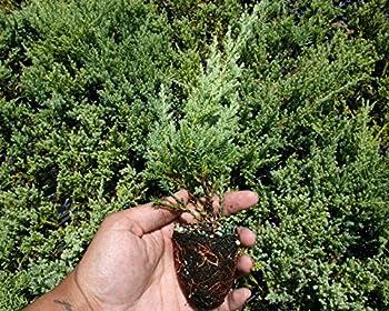 Nicks Compacta Juniper - 30 Live Plants - Drought Tolerant Cold Hardy Evergreen