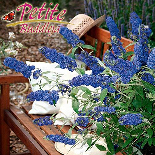Keland Garten - Raritäten Trio-Zwergschmetterlingsflieder für Schmetterlinge, Blau Gelb Stamm duftend Blumensamen winterhart mehrjährig für Beete, Terrassen und Balkone