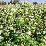 35 semillas / Paquete dulce Semillas de trigo sarraceno balcón en maceta semillas de cultivos
