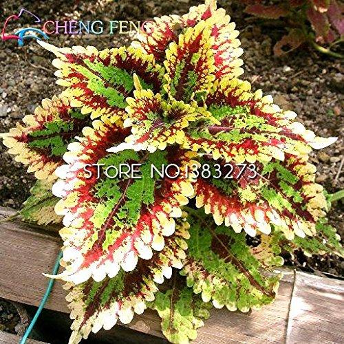 Promotions 100 arc-en-Mix Coleus Graines de fleurs Graines nouvelles plantes à graines Plantation Garden Bonsai Mini arbre en pot Balcon Sementes