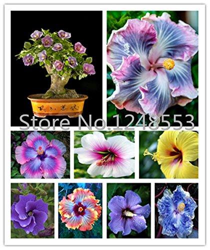 ¡¡¡En venta!!! semillas 200pcs Hibiscus 24kinds semillas de árboles Hibiscus rosa sinensis de flor de hibisco semillas para plantas de flor en maceta