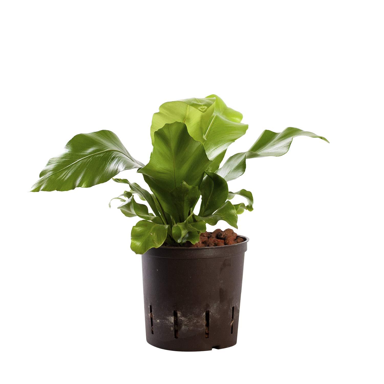 Planta de fácil cuidado: Plantas naturales interior en hidroponía ...