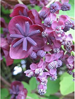 15 Chocolate Vine Edible Fruit Akebia Trifoliata Flower Ornamental Climber Seeds #DS01