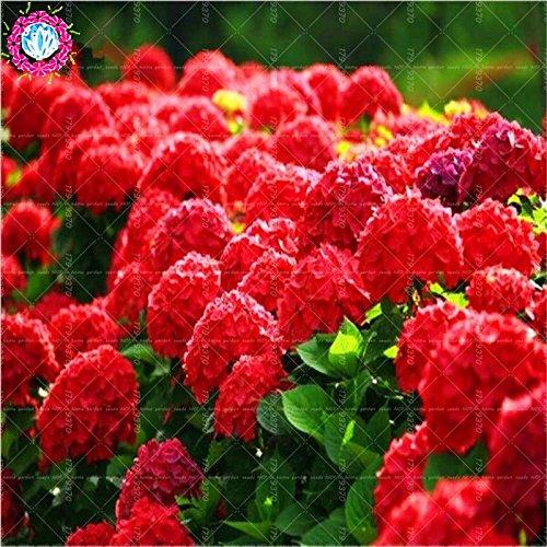 10pcs/pack Red Hydrangea mélange de graines Hydrangea Fleurs Accueil Plante des graines de fleurs Bonsai Viburnum pour le jardin à la maison 1