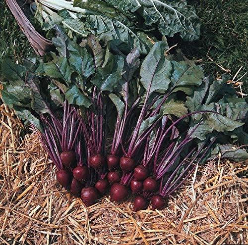 Samen-Paket: King Seeds - Rote-Bete-Pablo F1-200 Samen